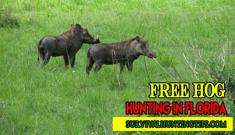 Free Hog Hunting in Florida Guide For You