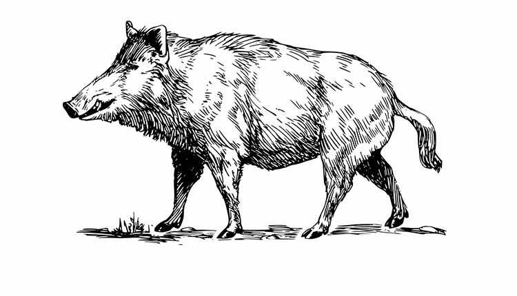 History Of The Wild Boar