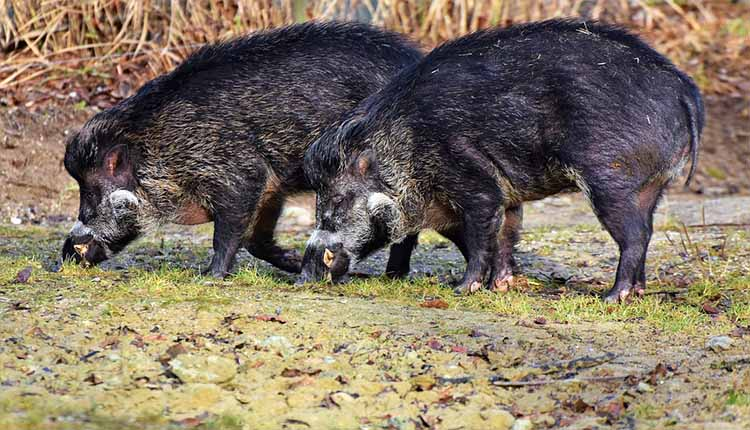 How And Where Should You Start From, Hunting Wild Pig