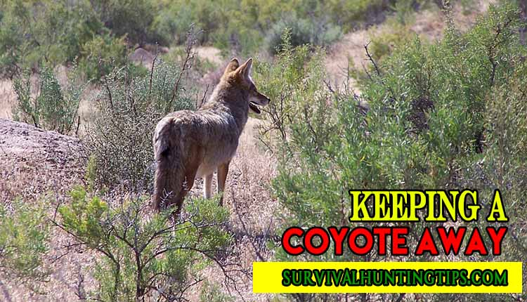 Keeping a Coyote Away