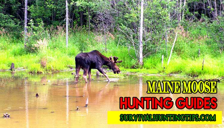 Maine Moose Hunting Guides