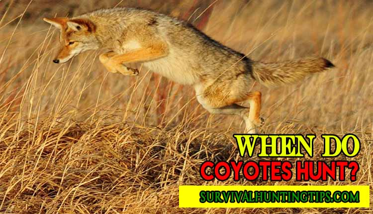 Opportunistic Mammal (When Do Coyotes Hunt?)