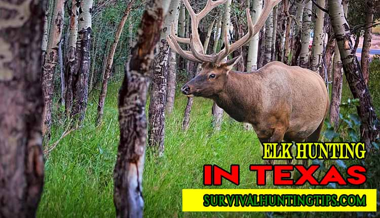 A GUIDE ON ELK HUNTING IN TEXAS WITH A 100% SUCCESS RATE.