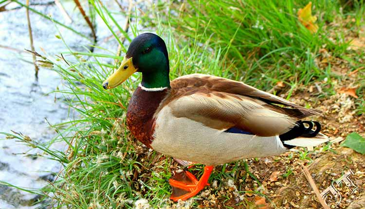 Get To Know Species Of Ducks