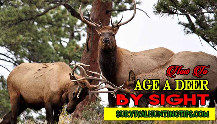 How To Age A Deer By Sight