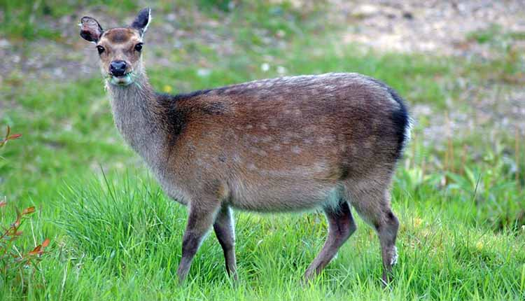 The Gestation Period How Long Are Deer Pregnant?