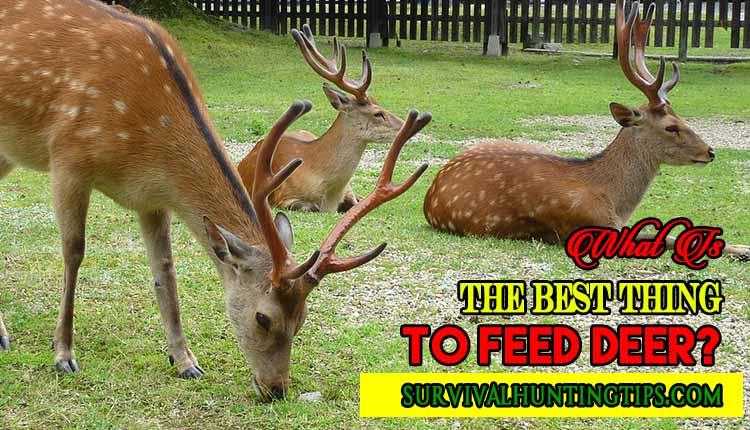What Is The Best Thing To Feed Deer?