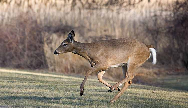 Just How Fast Can A Deer Run?