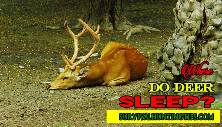 Where Do Deer Sleep