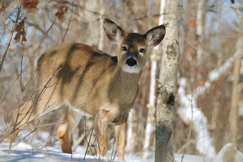 Is Deer Color Blind ?